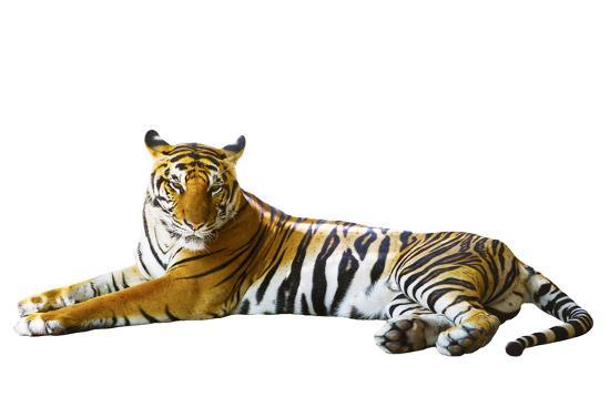 Isolated White Background of Indochinese Tiger Face Lying with Relax Face-khunaspix-Photographic Print