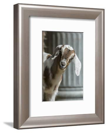 Issaquah, WA. 12 day old mixed breed Nubian and Boer goat kid-Janet Horton-Framed Photographic Print