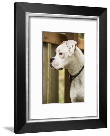 Issaquah, WA. Boxer puppy standing in a backyard playground playset.-Janet Horton-Framed Photographic Print
