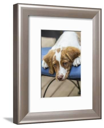 Issaquah, WA. Close-up of a two month old Brittany Spaniel reclining on a patio chair.-Janet Horton-Framed Photographic Print