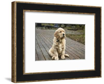 Issaquah, WA. Eight week old Golden Retriever puppy sitting on a wooden deck.-Janet Horton-Framed Photographic Print