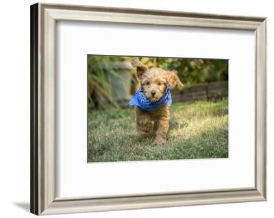 Issaquah, WA. Eight week old Goldendoodle puppy wearing a neckerchief while playing on the lawn.-Janet Horton-Framed Photographic Print