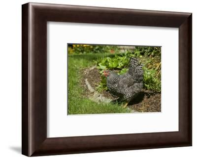 Issaquah, WA. Free-ranging Barred Plymouth Rock chicken in a flower bed.-Janet Horton-Framed Photographic Print