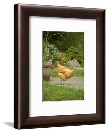 Issaquah, WA. Free-ranging Buff Orpington chicken foraging about a backyard.-Janet Horton-Framed Photographic Print