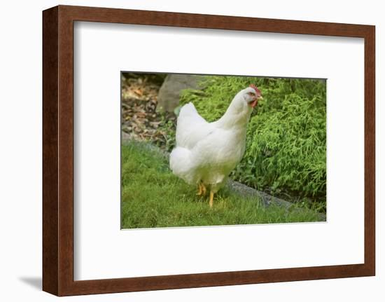 Issaquah, WA. Free-ranging White Plymouth Rock chicken roaming across the lawn.-Janet Horton-Framed Photographic Print