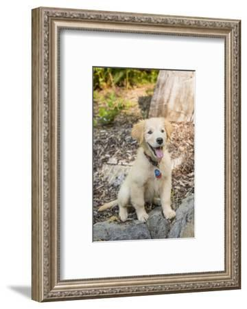 Issaquah, WA. Golden Retriever puppy sitting atop a stone retaining wall.-Janet Horton-Framed Photographic Print