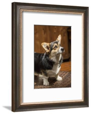 Issaquah, WA. Six month old Corgi puppy posing on a lawn chair.-Janet Horton-Framed Photographic Print