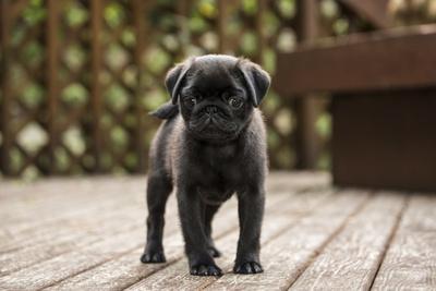 https://imgc.artprintimages.com/img/print/issaquah-wa-ten-week-old-black-pug-puppy-exploring-outside-on-a-wooden-deck_u-l-q1gbbz40.jpg?p=0