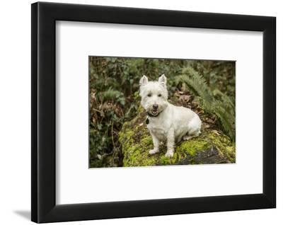 Issaquah, WA. Westie posing outside as he sits on a large moss-covered fallen tree.-Janet Horton-Framed Photographic Print