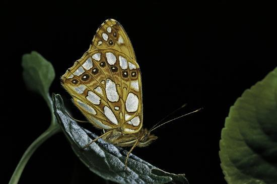 Issoria Lathonia (Queen of Spain Fritillary)-Paul Starosta-Photographic Print