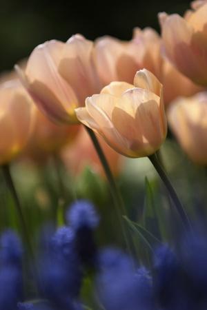 Tulip No 1