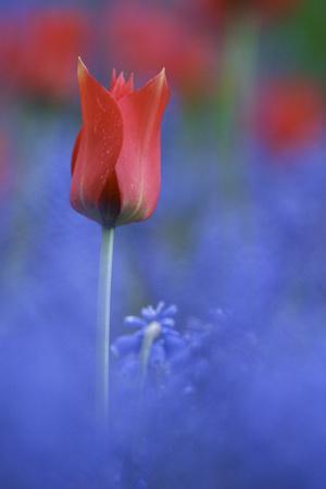 Tulip No 3
