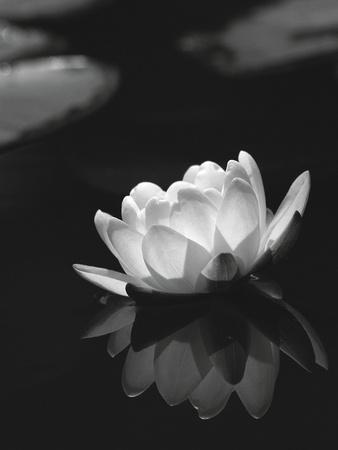 Water Lily BW