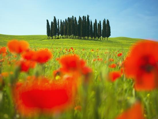 Italian Cypress Trees in Cornfield-Frank Krahmer-Photographic Print