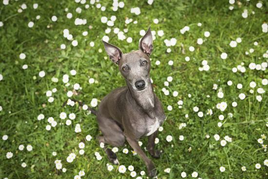 Italian Greyhound, Flower Field, Sitting, Looking at Camera-S. Uhl-Photographic Print