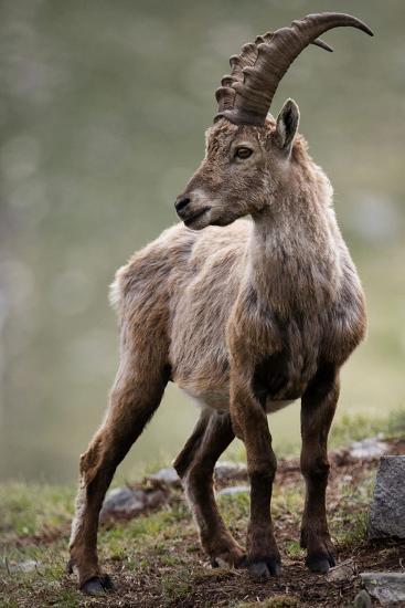 Italy, Alpine Ibex, Capra Ibex-Rainer Mirau-Photographic Print