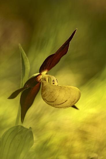 Italy, Friuli Venezia Giulia , Lady's Slipper (Slipper Orchid)-Cristiana Damiano-Photographic Print