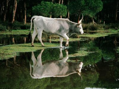 Italy - Tuscany Region - Uccellina Park - Maremma Cow--Photographic Print