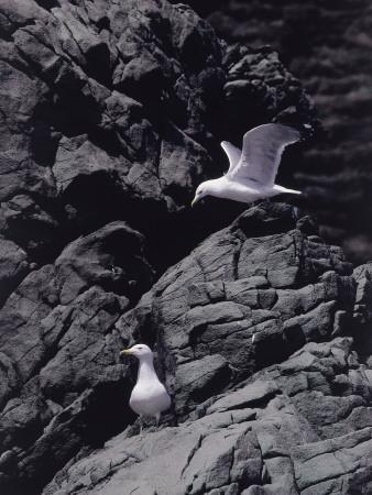 https://imgc.artprintimages.com/img/print/italy-tuscany-region-zoology-royal-gull_u-l-q10binh0.jpg?p=0