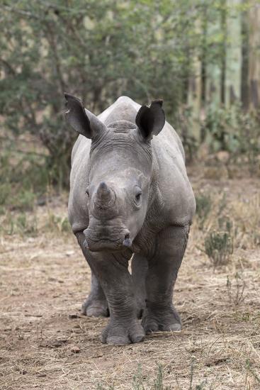 Ithuba, Thula Thula Rhino Orphanage, Kwazulu-Natal-Ann & Steve Toon-Photographic Print