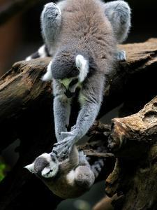APTOPIX Japan Animal Lemur by Itsuo Inouye