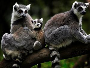 Japan Animal Lemur by Itsuo Inouye