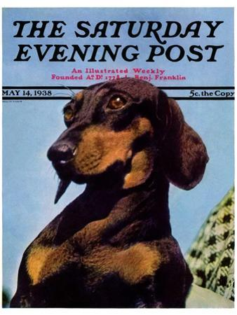 """""""Dachshund,"""" Saturday Evening Post Cover, May 14, 1938 by Ivan Dmitri"""