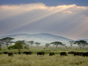 African Buffalo, Serengeti National Park, Tanzania by Ivan Vdovin