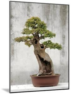Bonsai Tree, Classical Garden, Suzhou, Jiangsu, China by Ivan Vdovin