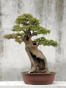 Bonsai Tree, Classical Garden, Suzhou, Jiangsu, China by Ivan Vdovin