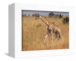 Giraffe, Murchison Falls Conservation Area, Uganda, Africa by Ivan Vdovin