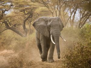 Loxodonta Africana, Lake Manyara National Park, Tanzania by Ivan Vdovin