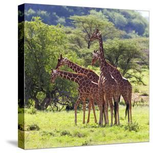 Masai Giraffe (Giraffa Camelopardalis Tippelskirchi), Samburu National Reserve, Kenya by Ivan Vdovin