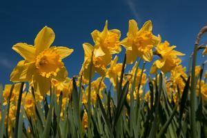 Daffodils by Ivonnewierink