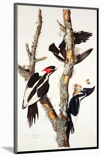 Ivory-Billed Woodpecker, 1829-John James Audubon-Mounted Premium Giclee Print