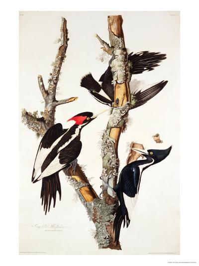 Ivory-Billed Woodpecker, 1829-John James Audubon-Giclee Print