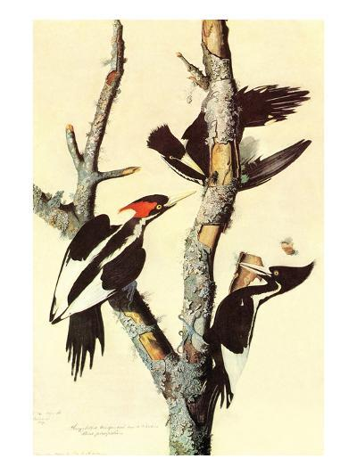 Ivory-Billed Woodpecker-John James Audubon-Art Print