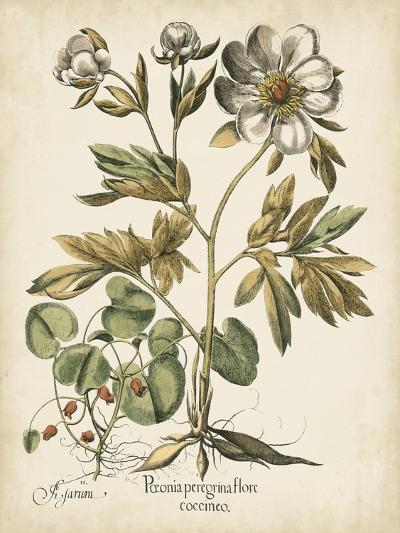 Ivory Peonies III-Besler Basilius-Art Print