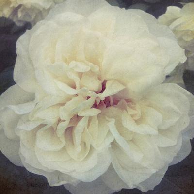 https://imgc.artprintimages.com/img/print/ivory-petals_u-l-f875di0.jpg?p=0