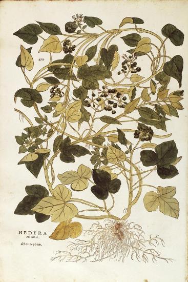 Ivy (Hedera Helix Nigra Aurea) by Leonhart Fuchs from De Historia Stirpium Commentarii Insignes (No--Giclee Print