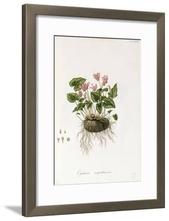 Ivy-Leaved Cyclamen - Cyclamen Neapolitanum, 1811-1838
