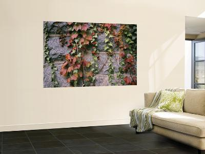 Ivy on a Stone Wall-Amy & Al White & Petteway-Wall Mural