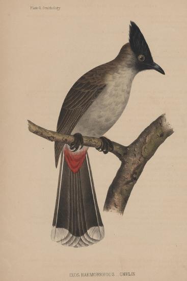 Ixos Haemorrhous (Gmelin)--Giclee Print