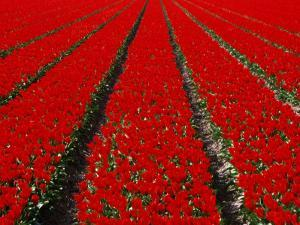 Red Tulip Field in Lisse, Amsterdam, North Holland, Netherlands by Izzet Keribar