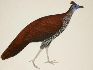 Crested Fireback Pheasant by J. Briois