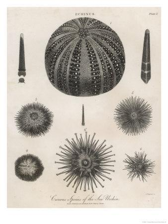 Variety of Sea Urchins