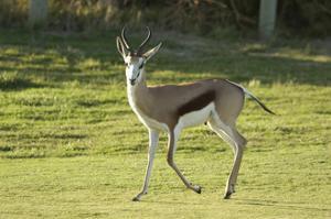 Antelope at The Atlantic Beach Golf Club by J.D. Cuban