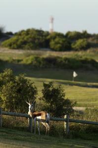 Atlantic Beach Golf Club, antelope by fence by J.D. Cuban