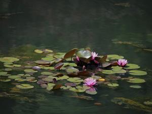 Water Lillies by J.D. Mcfarlan