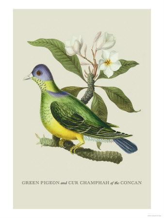 Green Pigeon and Cur Champhah of the Concan